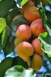 成熟杏子分支 免版税库存照片