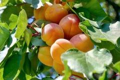 成熟杏子分支 免版税库存图片