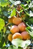 成熟杏子分支 库存图片