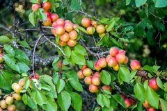 成熟杏子在庭院给树枝穿衣 免版税库存照片