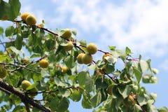 成熟杏子的果子 免版税库存照片