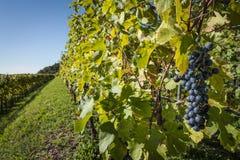 成熟束在行的红葡萄酒 免版税库存照片