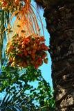 成熟束枣椰子 库存图片