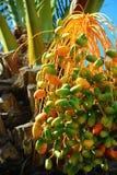成熟束枣椰子 免版税库存照片
