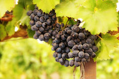 成熟束的葡萄 免版税库存图片