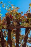 成熟束的葡萄 免版税库存照片