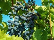 成熟束蓝色葡萄 免版税库存图片