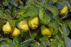 成熟柑橘 免版税库存图片