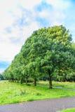 成熟树,岑属exelcior,作为种植在自然公园的大道 库存照片