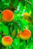 成熟桃子在一个分支结果实在果树园纽约 库存照片