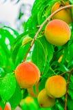 成熟桃子在一个分支结果实在果树园纽约 免版税库存照片