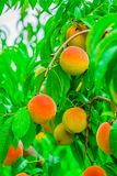 成熟桃子在一个分支结果实在果树园纽约 免版税库存图片
