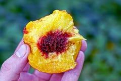 成熟桃子片断与一块石头的在他的手上 免版税库存照片