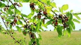 成熟桑树分支  在树的莓果 股票录像