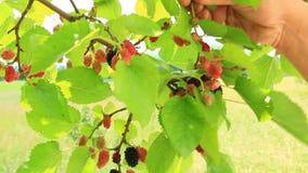 成熟桑树分支  在树的莓果 股票视频