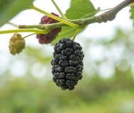 成熟桑树莓果 免版税图库摄影