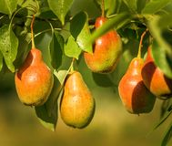 成熟梨在庭院里 免版税图库摄影