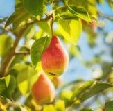 成熟梨在庭院里 免版税库存照片