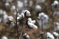 成熟棉花蒴有被弄脏的背景 图库摄影