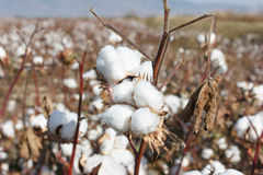 成熟棉花 免版税库存照片