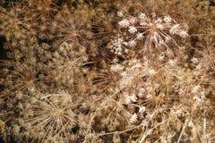 成熟棕色茴香伞,小景深 免版税库存照片