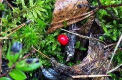 成熟森林莓果灌木  免版税库存图片