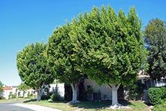 成熟榕属树三重奏在拉古纳森林,加利福尼亚 库存照片