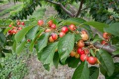 成熟樱桃树 成熟甜樱桃特写镜头在一棵树的在庭院里 图库摄影