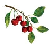 束与绿色叶子的成熟樱桃莓果。 图库摄影