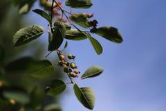成熟樱桃莓果 免版税图库摄影