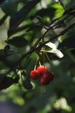 成熟樱桃 库存图片