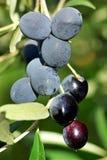 成熟橄榄树 免版税库存照片
