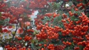成熟橙色束莓果从在分支的风摇摆 股票录像