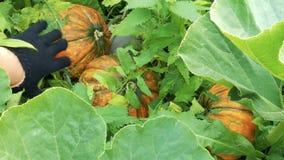 成熟橙色的南瓜 花匠手接触菜 股票录像