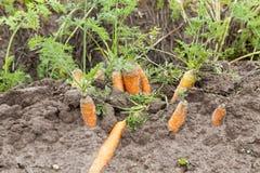 成熟橙色红萝卜 免版税图库摄影