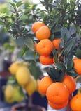 成熟橙色蜜桔和柠檬 免版税库存照片