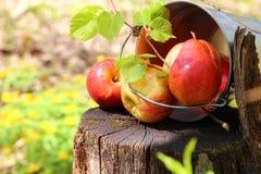成熟水多的红色苹果和梨收获在一个桶在防止发酵过度 图库摄影