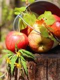 成熟水多的红色苹果和梨收获在一个桶在防止发酵过度 库存照片