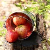 成熟水多的红色苹果收获在一个桶的在nat的一个树桩 免版税库存照片