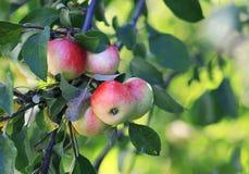 成熟水多的苹果在庭院里增长在一个晴天 库存图片