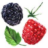 成熟水多的莓和黑莓与叶子和词根,被隔绝的新鲜的有机莓果,手拉的水彩 向量例证