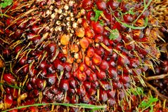 成熟油棕榈树果子束 库存照片