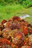 成熟油棕榈树果子负荷 免版税库存图片