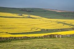 成熟油菜籽油菜庄稼的美好的风景图象在春天 免版税库存图片