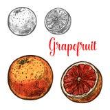 成熟热带柑桔葡萄柚剪影  库存例证