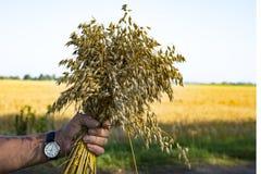 成熟燕麦的耳朵花束在手上 免版税库存照片