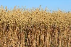 成熟燕麦的领域 免版税库存照片