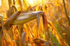 成熟玉米在秋天 库存图片