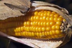 成熟玉米棒子 库存照片