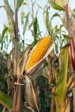 成熟玉米棒子 库存图片